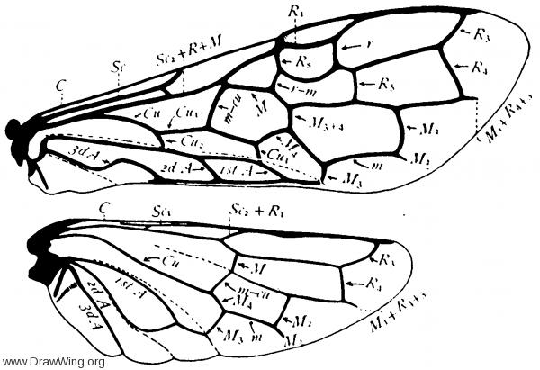 Pamphilius, wings