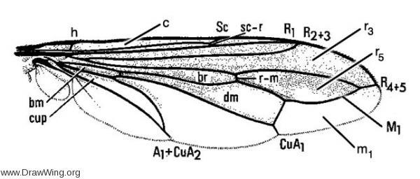 Labelled Wing Venation Diagram for Physocephala texana