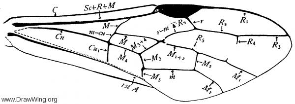 Pristaulacus editus, fore wing