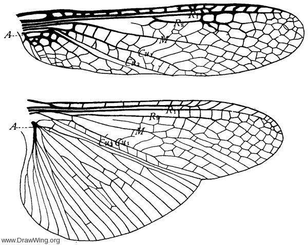 Pteronarcys dorsata, wings