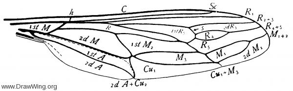 Rhynchocephalus, wing