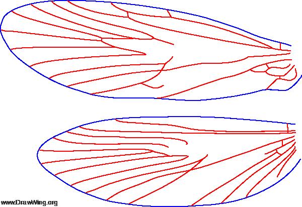 Rossiana montana, wings
