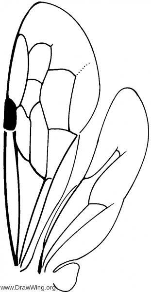 Fedtschenkiinae, wings