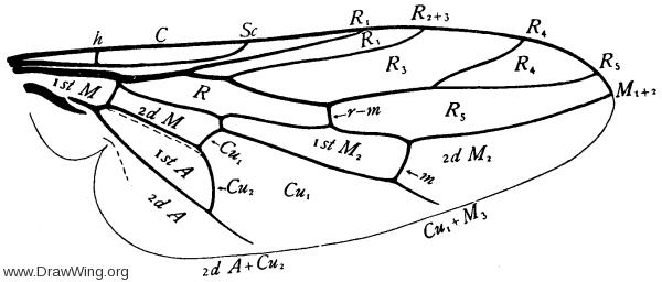 Scenopinus, wing