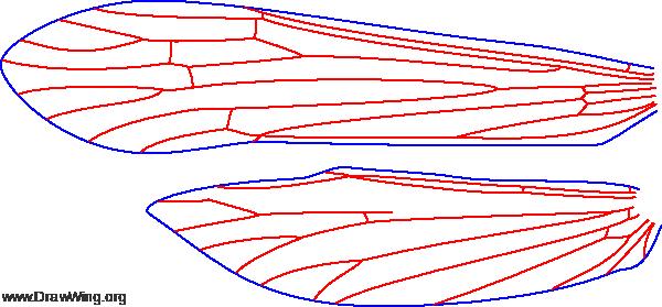 Setodes oligius, wings