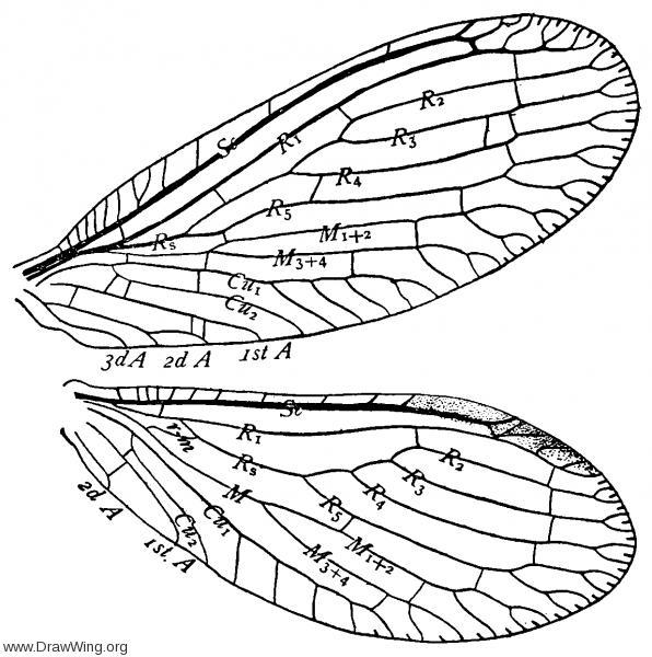 Sisyra flavicornis, wings