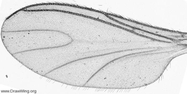 Bradysia, wing