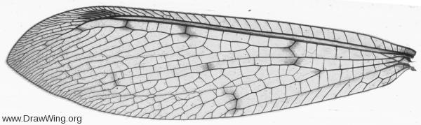 Myrmeleontidae, forewing