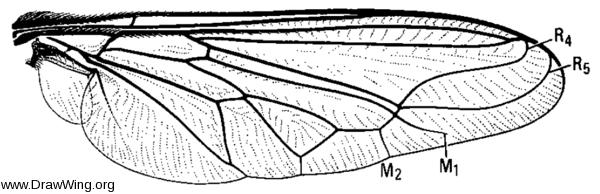 Lasia purpurata, wing