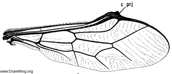 Pterodontia vix, wing