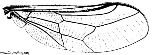 Pterodontia misella, wing