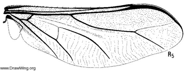 Acrocera bulla, wing