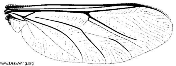 Ogcodes adaptatus, wing