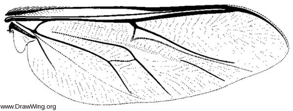 Ogcodes borealis, wing