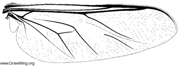 Ogcodes colei, wing