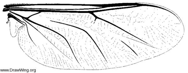Ogcodes eugonatus, wing