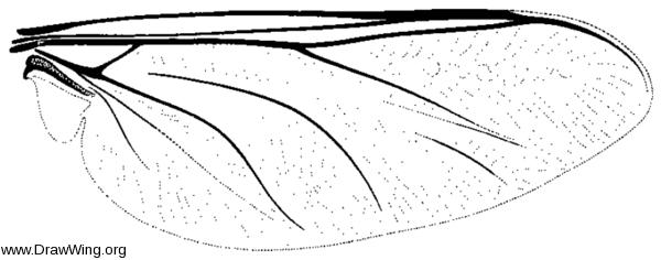 Ogcodes albiventris, wing