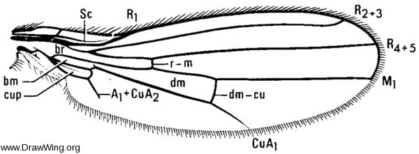 Anthomyza gracilis, wing