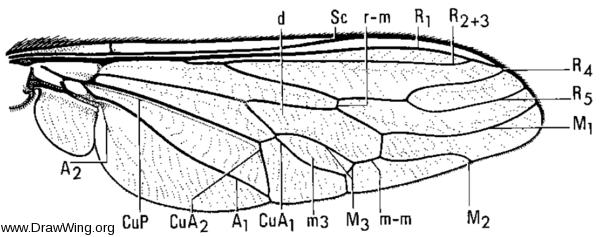Apiocera haruspex, wing