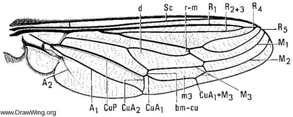 Rhaphiomidas acton, wing
