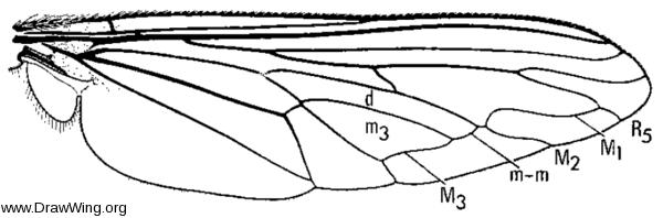 Microstylum galactodes, wing