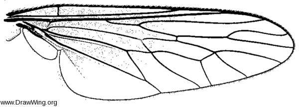 Orrhodops americanus, wing