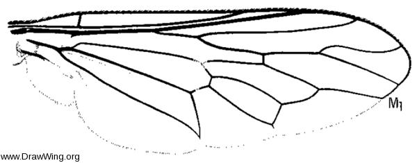 Itolia maculata, wing