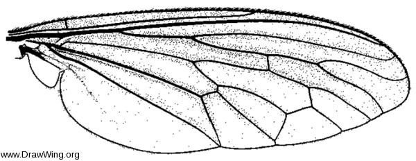 Prolepsis tristis, wing