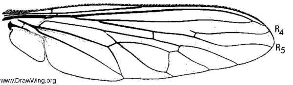 Efferia aestuans, wing