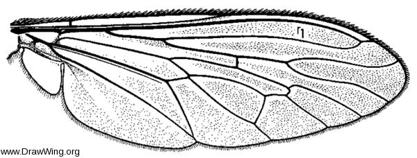 Machimus, wing