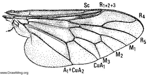Atherix variegata, wing