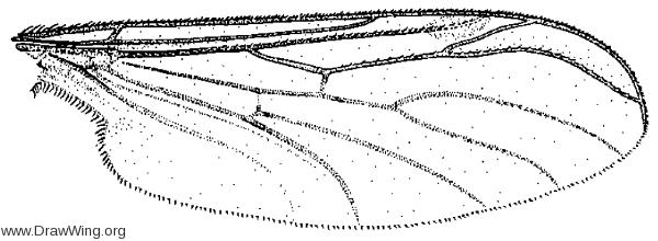 Hesperinus brevifrons, wing