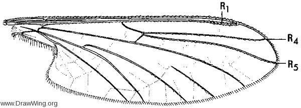 Blepharicera tenuipes, wing