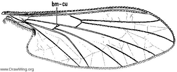 Dioptopsis sequoiarum, wing