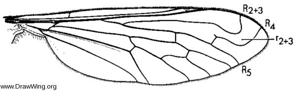 Paracosmus morrisoni, wing