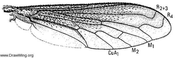 Lepidophora lutea, wing