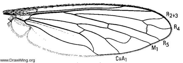 Toxophora virgata, wing