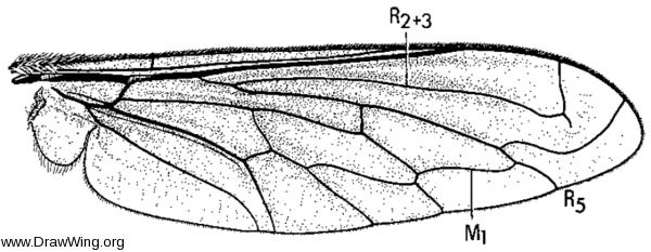 Triploechus novum, wing