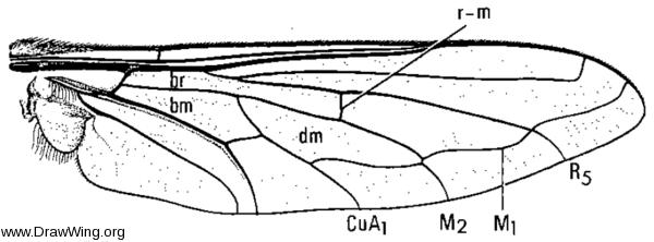 Heterostylum robustum, wing