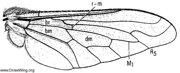 Anastoechus barbatus, wing