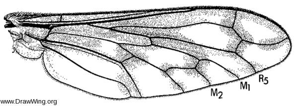 Conophorus fenestratus, wing