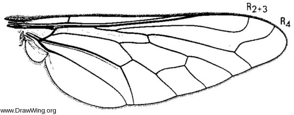 Sparnopolius lherminierii, wing