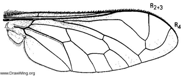 Lordotus striatus, wing