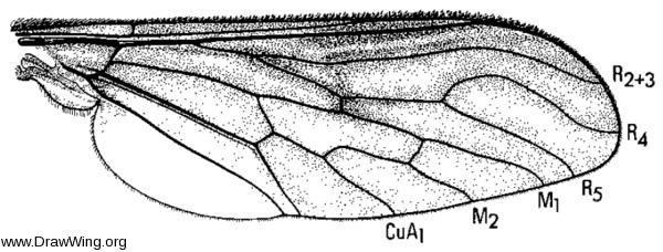 Thevenemyia celer, wing