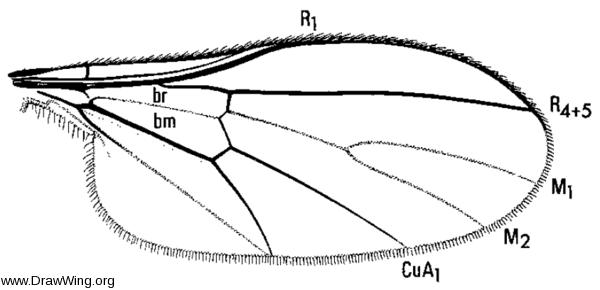 Empidideicus humeralis, wing