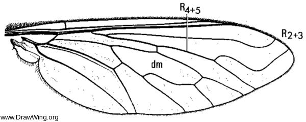 Aphoebantus mus, wing