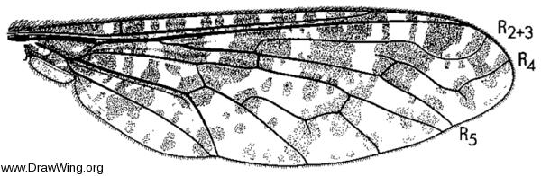Anthrax irroratus, wing