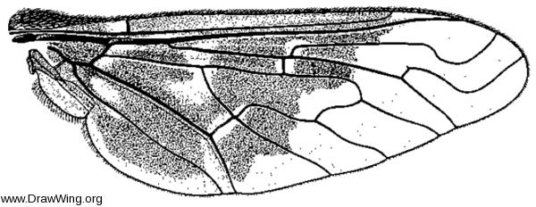 Thyridanthrax fenestratoides, wing