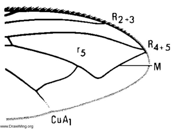 Bellardia agilis, wing tip