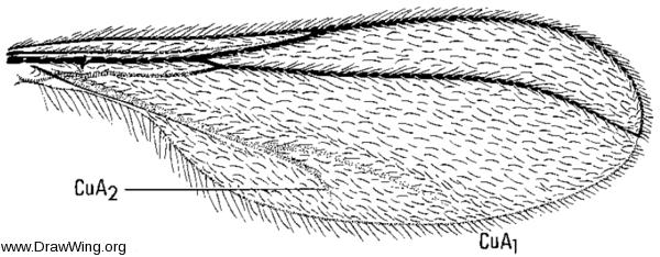 Neocolpodia pinea, wing